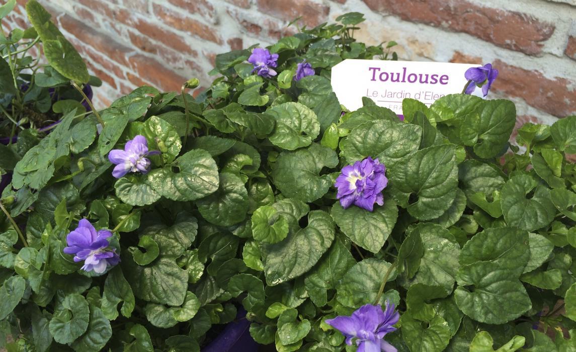 Violette Toulouse © Maison de la violette